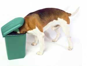 Copragfoie. Honden eten soms hun eigen uitwerpselen