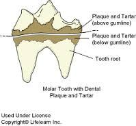 tandsteen hond